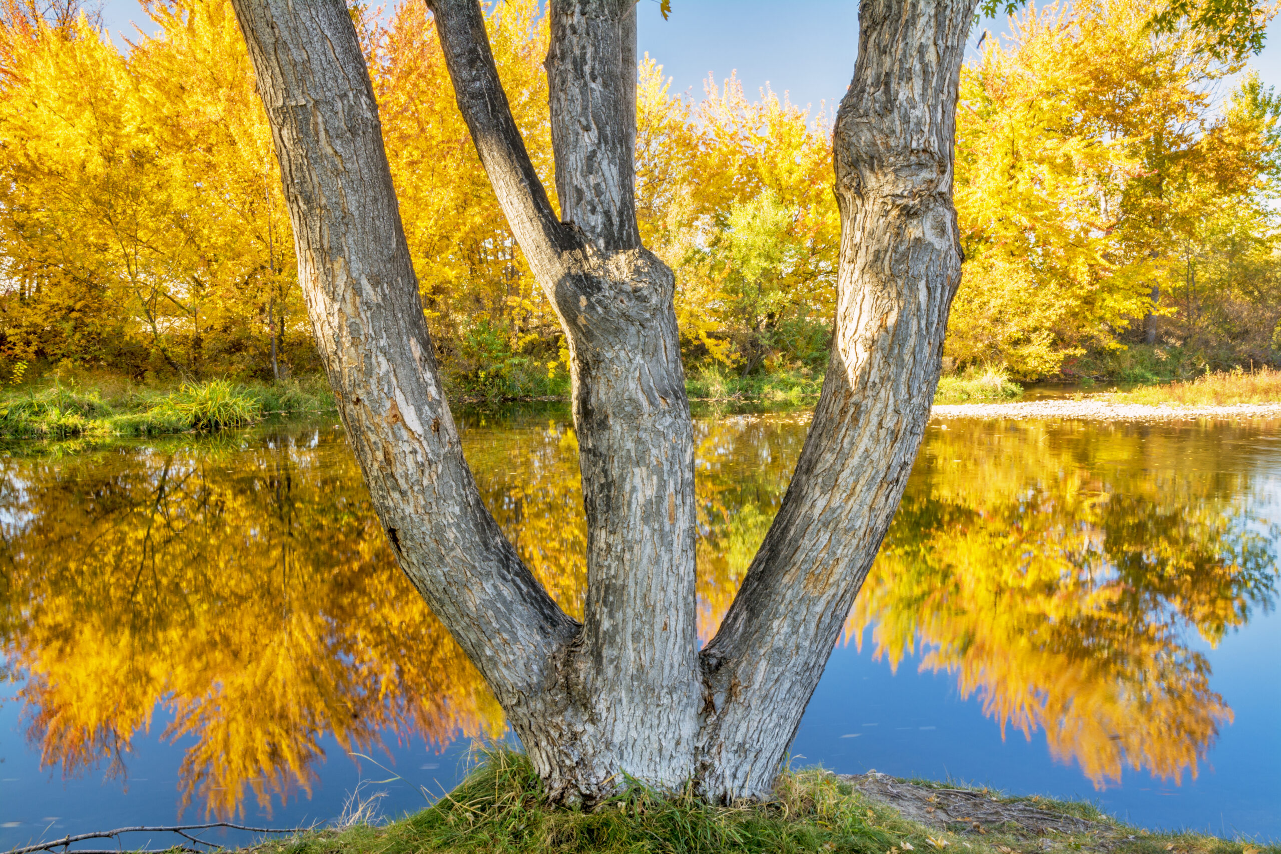 Boise river with forked tree autumn reflections